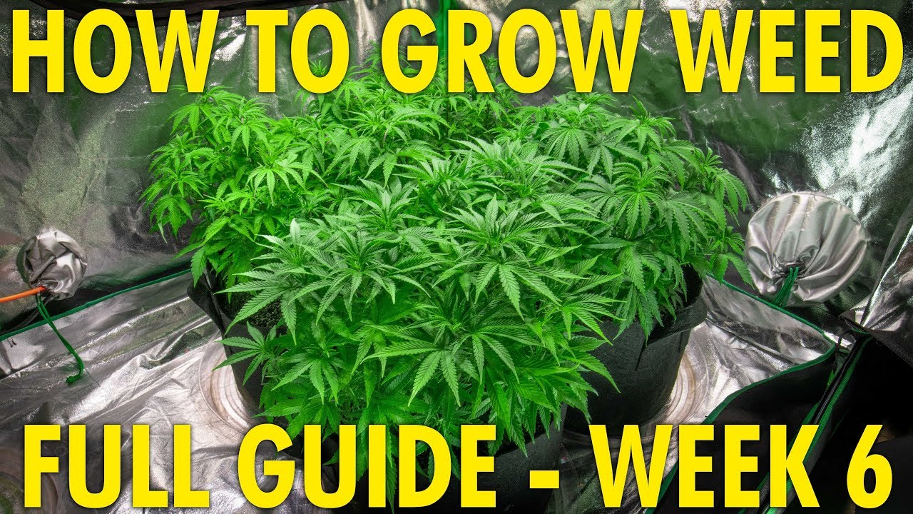 Finding the Perfect Height for My Grow Lights – Cannabis Grow Guide Week 6