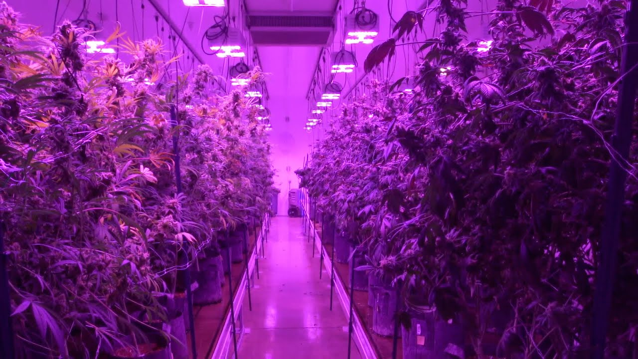 LED Grow Lights Boost Cannabis Quality and Yields at Silver State Relief