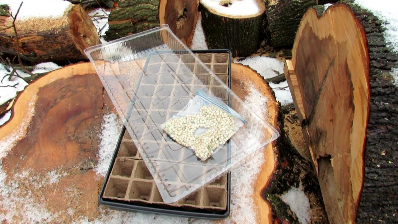 Seed Starting Vegetable Plants In/Outdoors Without Grow-Lights: All the Steps for Peas