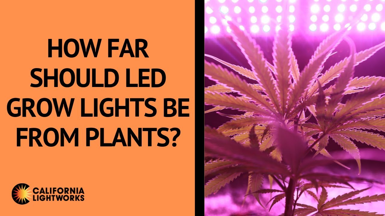 How Far Should LED Grow Lights Be From Plants? – FAQ