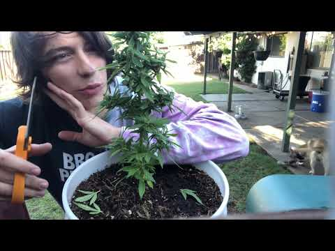 WEEK 9 WEED PLANT WITHOUT NUTRIENTS