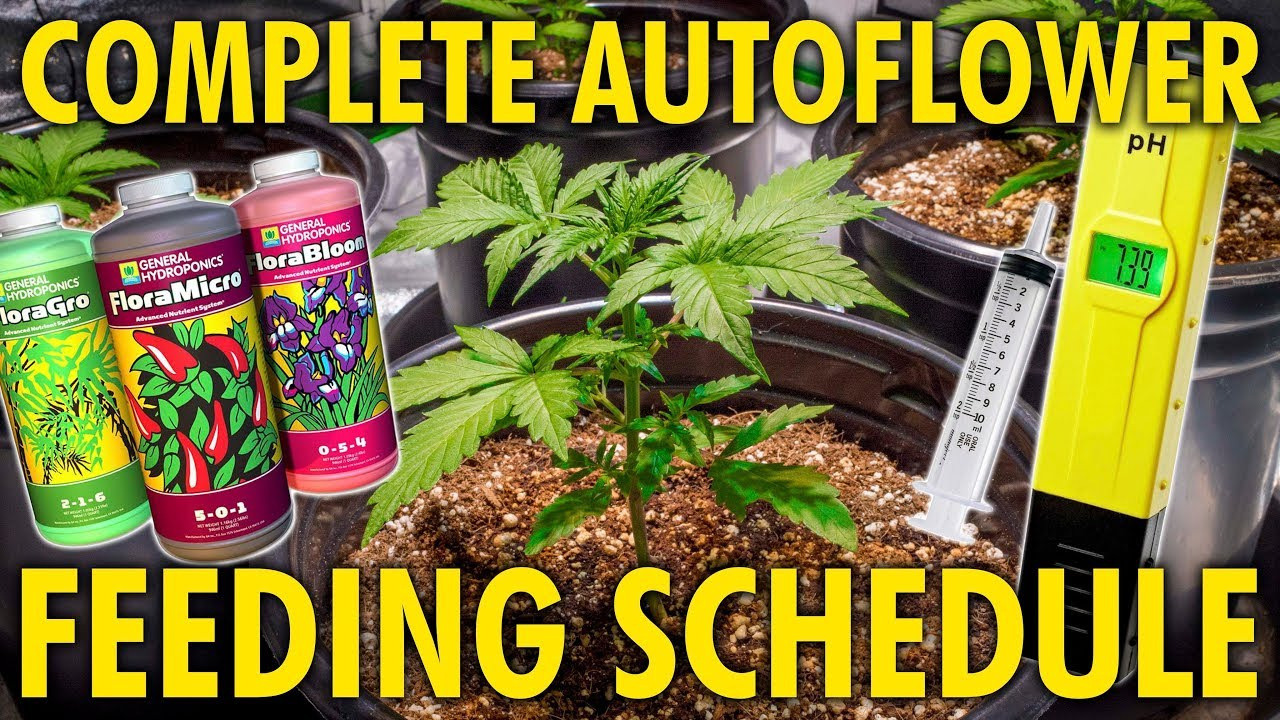 How to Water and Feed Autoflowers – Made Simple