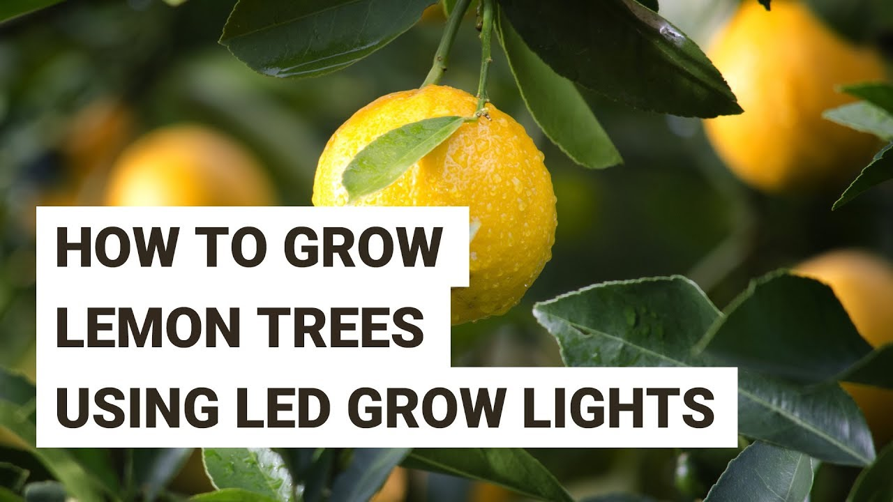 How to Grow Lemon Trees Indoors With LED Grow Lights