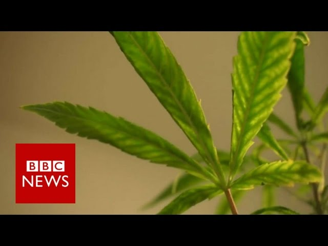 Can cannabis oil treat a child from epilepsy? BBC News