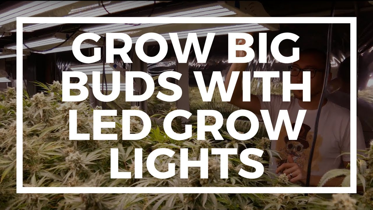 How To Grow Big Dense Buds Indoors With LED Grow Lights