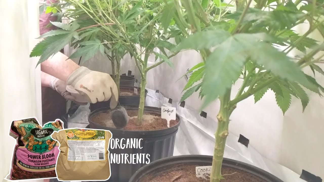 GROWING CANNABIS WITH ORGANIC DRY AMENDMENTS – TOP DRESSING