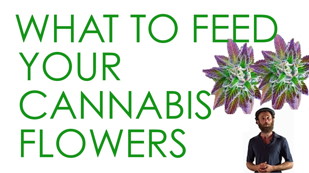 How to Feed Flowering Cannabis Plants