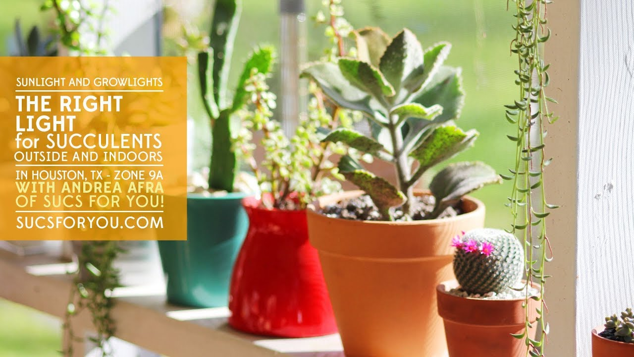 The Right Light for Succulents: Outside, indoors, sunlight, and grow lights