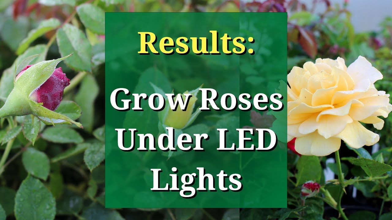 Results: Roses Indoors Under Grow Lights (Mars TS 1000W)