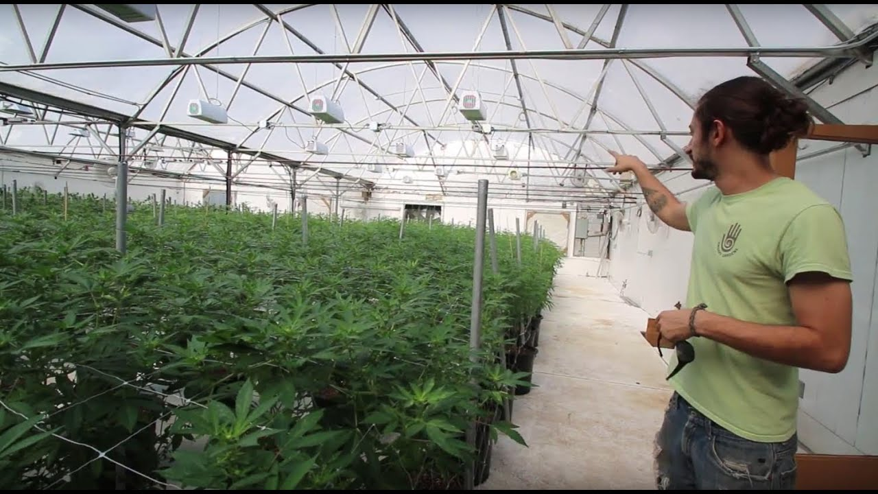 LED Grow Lights: Growing Hemp in a Greenhouse at Ambary Gardens.