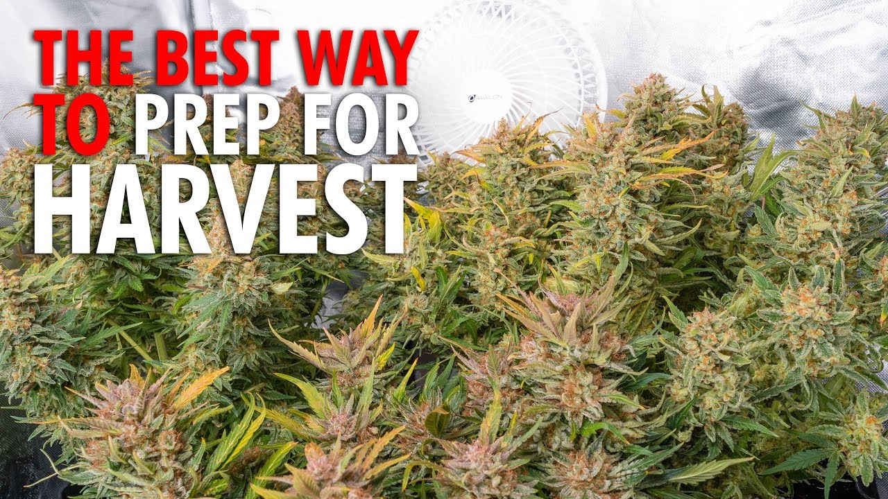 How and When to Flush Cannabis Plants The Right Way