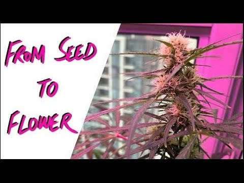 First Cannabis Grow – Journey From Seed to Flower