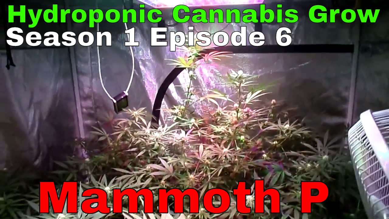 Hydroponic Cannabis Grow S01E06  – Flower Day 21 – Blue Planet Nutrients