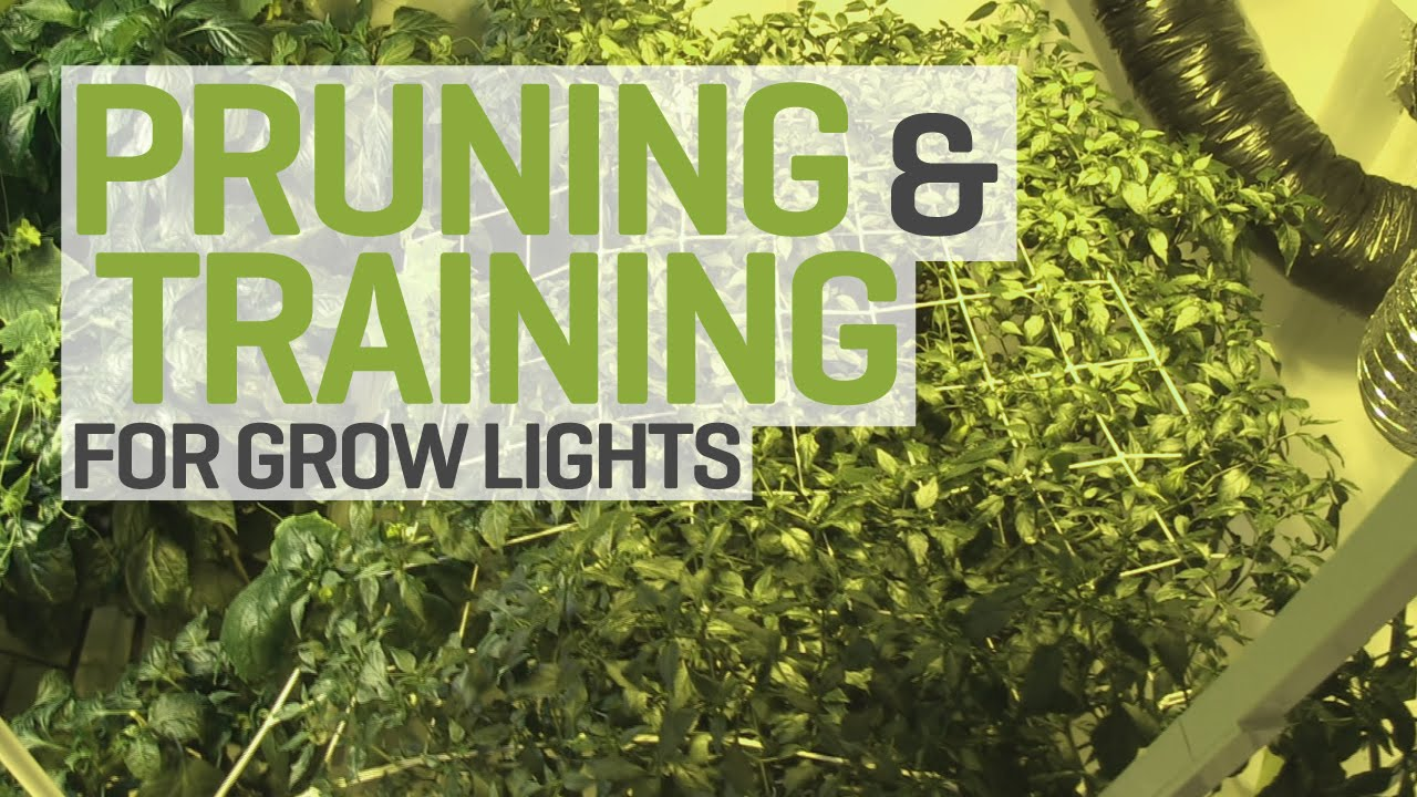 Pruning and Training Plants for Indoor Cultivation under HID Grow Lights