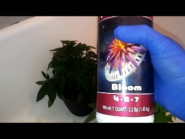 Poor Man's Cannabis Grow – The Flush before BLOOM nutrients