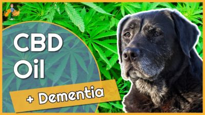 Can You use CBD Oil to Treat Dementia in Dogs – what's the evidence?