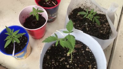 Growing Weed With No Nutrients | Grow Along #2