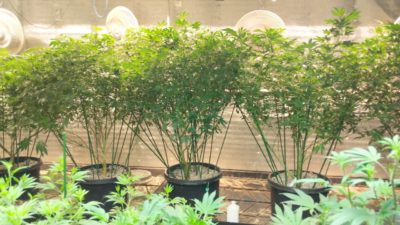 Vegetative Grow – best nutrients ever, tried tested and proven!