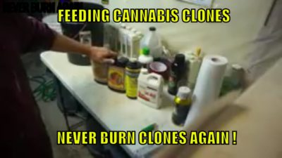 HOW TO FEED CANNABIS CLONES. EASY METHOD.