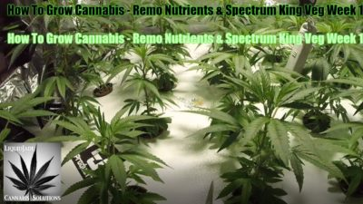 How To Grow Cannabis   Remo Nutrients & Spectrum King Veg Week 1