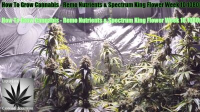 How To Grow Cannabis   Remo Nutrients & Spectrum King Flower Week 10 1080p