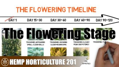 What To Do In The Flowering Stage