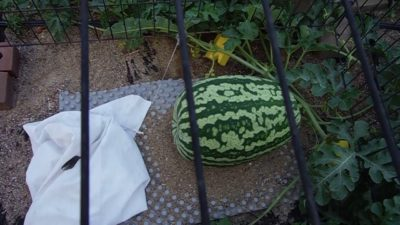Weed FREE Watermelon Patch.Deer protection growing with Cannabis Nutrients.