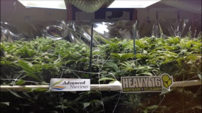Advanced Nutrients vs Heavy 16 The Great Grow Off side by side, Match 1 – Episode 2