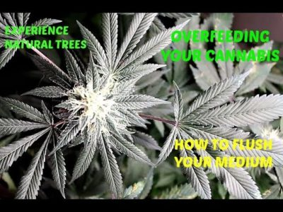 Overfeeding and How To Flush Your Cannabis
