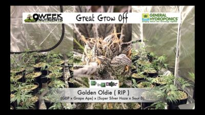 General Hydro vs 9 week, Cannabis Nutrient Side by Side test – Great Grow Off – Start to Finish