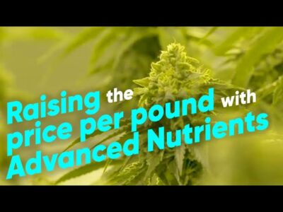How to Increase Indoor Cannabis Yields with Advanced Nutrients – Hydroboys Grow