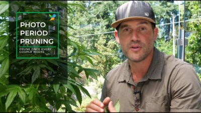 Outdoor Home Grow Ep 2 – The Vegetative Stage Of Your Cannabis Plants