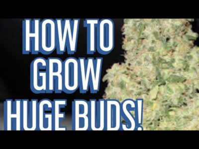 """The """"SECRETS""""  to Feeding Cannabis Plants for HUGE Buds!"""