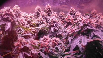 Hydro Grow LEDs  Day 45  and Golden tree nutrients