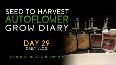 Day 29 – Switching over to bloom nutrients! – From Seed to Harvest – Autoflower – Advanced Nutrients