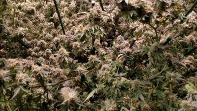 Durban Poison & Grape Ape – grown with Best coco nutrients