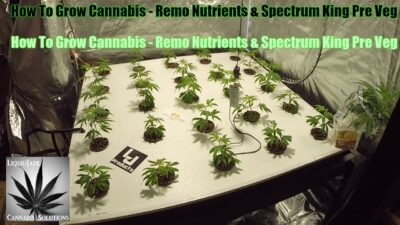 How To Grow Cannabis   Remo Nutrients & Spectrum King Pre Veg