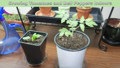 Growing Tomatoes and Bell Peppers Indoors Under Grow lights (Part 1)